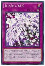 聖天樹の開花